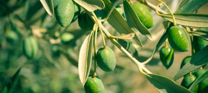 Zeytin yaprağı ile cildinize doğal bakım sağlayın